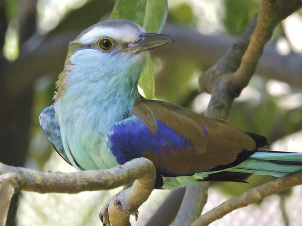 Photograph - Racket Tailed Roller by Penny Lisowski