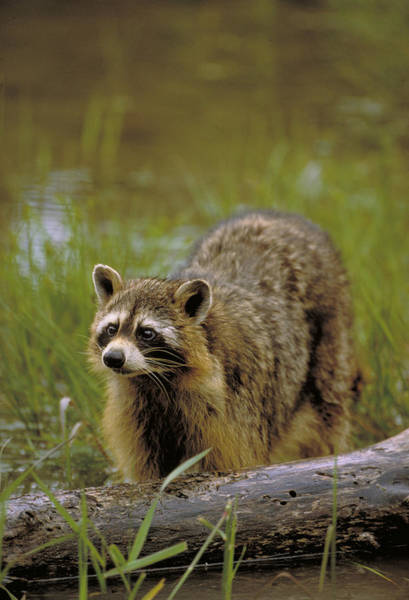 Wall Art - Photograph - Racoon Hunting In Stream by Jeffrey Lepore