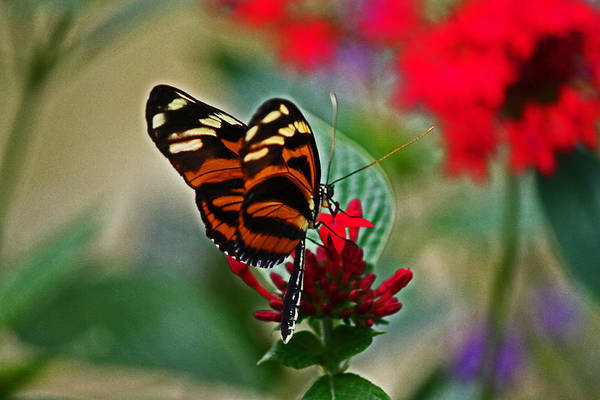 Photograph - Radiant Butterfly by Lily K
