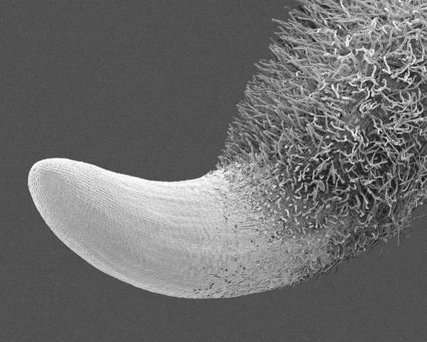 Wall Art - Photograph - Radish Seed Root And Root Hairs (raphanus Sativus) by Dennis Kunkel Microscopy/science Photo Library