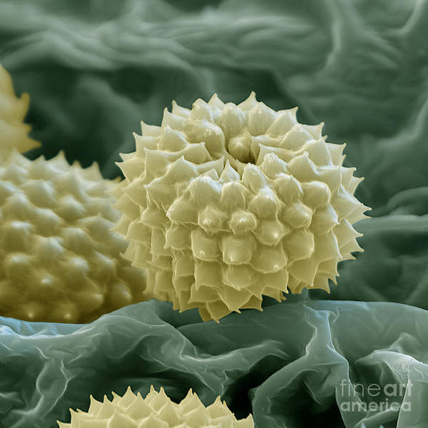 Photograph - Ragweed Pollen by Eye of Science