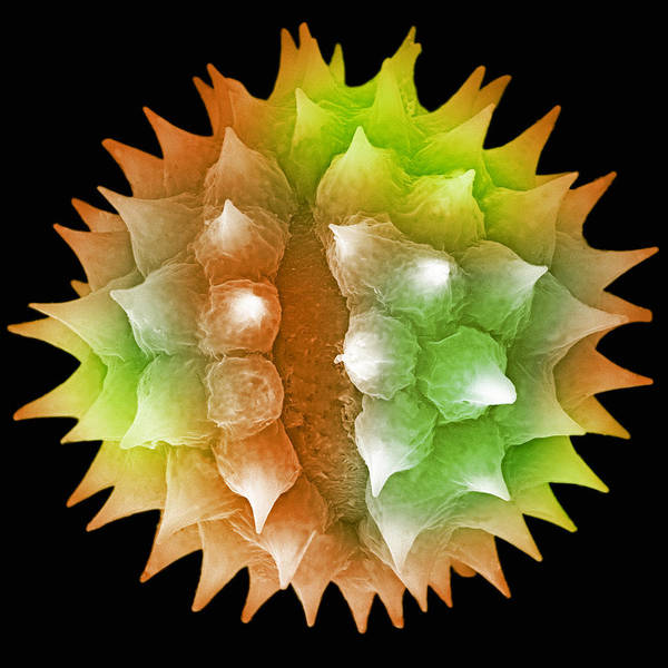 Electron Micrograph Wall Art - Photograph - Ragweed Pollen. Sem by Science Stock Photography