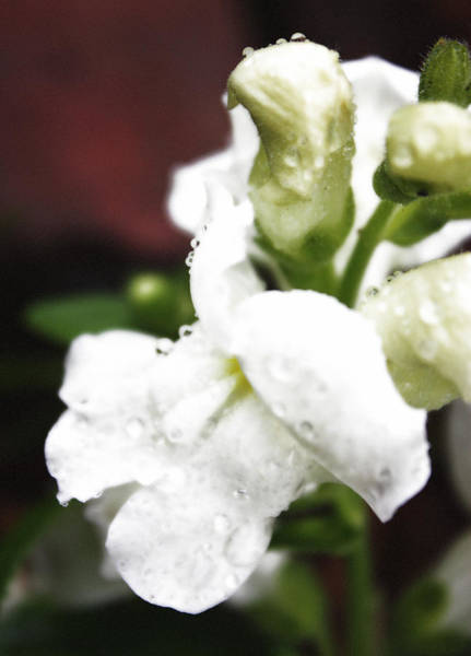 Snap Dragons Wall Art - Photograph - Rain Covered Dragon by Becca Wilcox