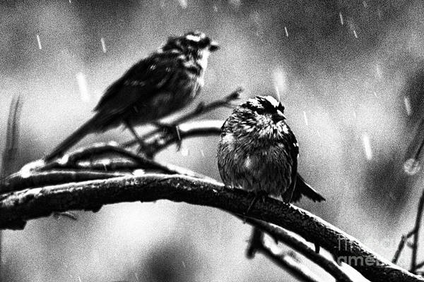 White-throated Sparrow Photograph - Rain Dancing Black And White by Douglas Barnard