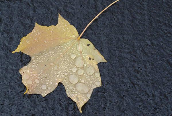 Photograph - Rain Drops On A Yellow Maple Leaf by Lynn Hansen
