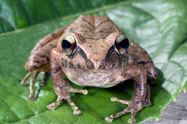 Chirping Photograph - Rain Frog by Sinclair Stammers/science Photo Library