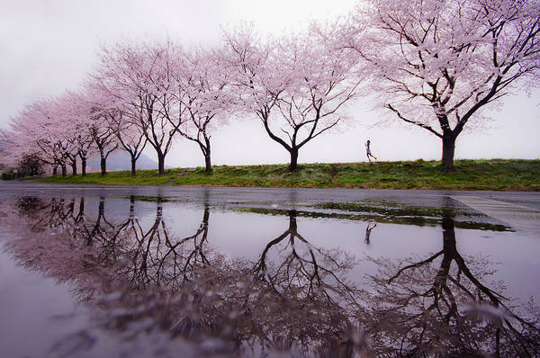 Cherry Wall Art - Photograph - Rain Of Spring by Kouji Tomihisa