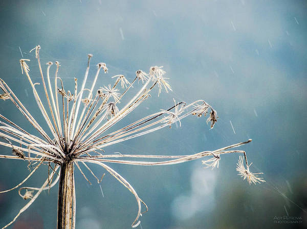Sofia Photograph - Rain Old Flower by Photograpy Is A Play With Light
