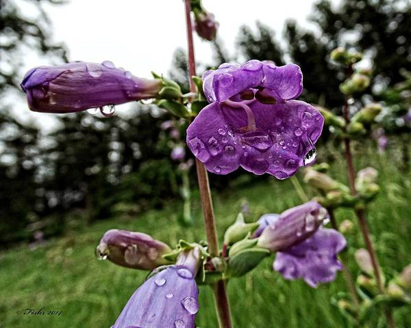 Photograph - Rain On Flowers by Fiskr Larsen