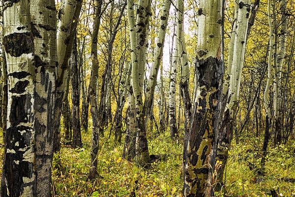 Photograph - Rain-soaked Aspen Bark by Belinda Greb
