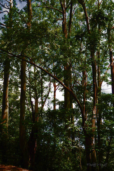 Photograph - Rainbow Eucalyptus - Hana Highway - Maui by Paulette B Wright