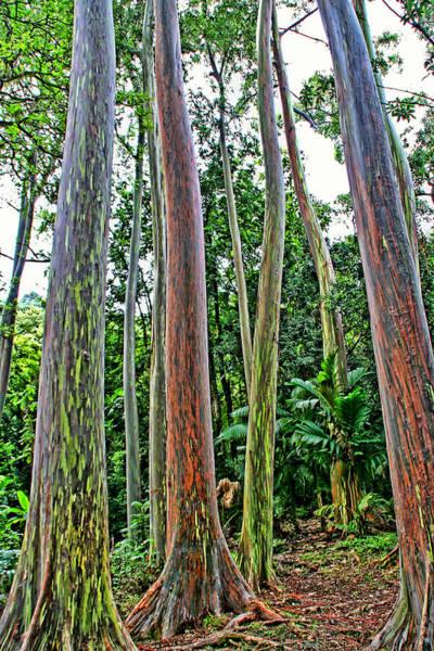 Photograph - Rainbow Eucalyptus Trees by Peggy Collins