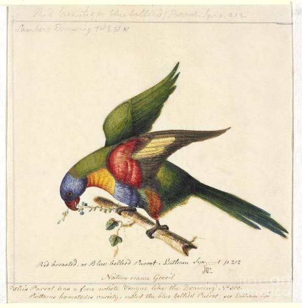Rainbow Lorikeet, 18th Century Art Print