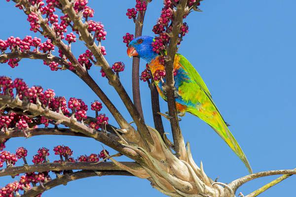 Rainbow Lorikeet In Queensland Umbrella Art Print