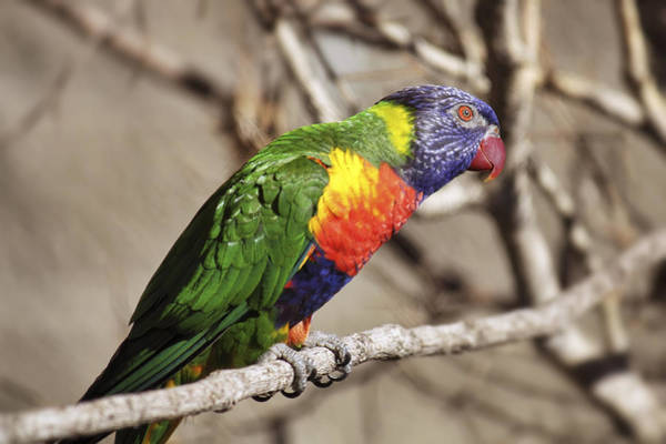 Photograph - Rainbow Lorikeet by Jason Politte