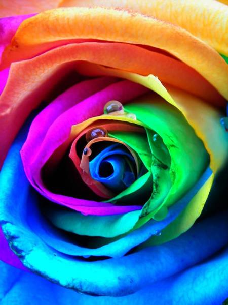 Gay Photograph - Rainbow Rose by Juergen Weiss