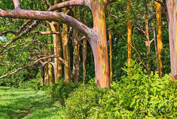 Eucalyptus Photograph - Rainbow Row - Eucalyptus Trees Of Maui by Jamie Pham