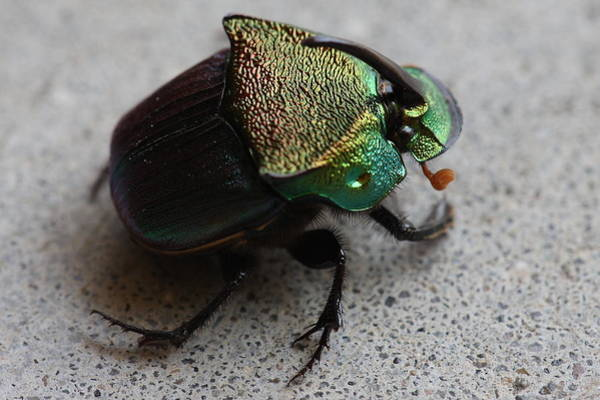 Photograph - Rainbow Scarab  Phanaeus Vindex  A Dung Beetle by Daniel Reed