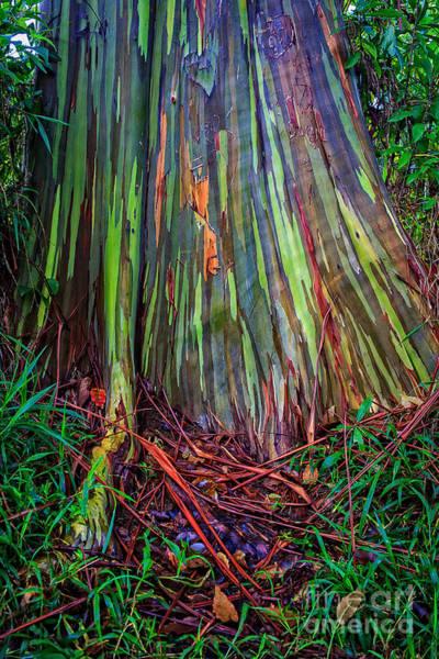 Photograph - Rainbow Trees Of Maui Hawaii by Edward Fielding