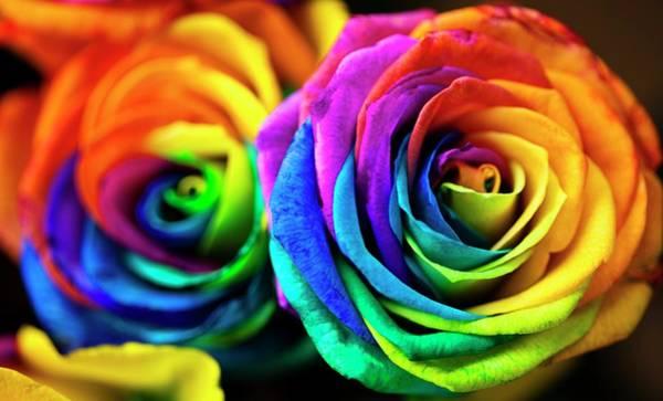 Rainbow Rose Wall Art - Photograph - Rainbowed Roses by Ian Gowland