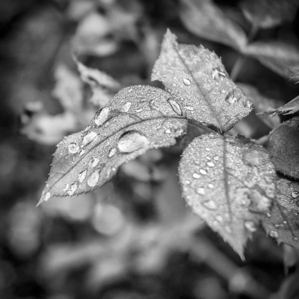 Photograph - Raindrops by Carolyn Marshall