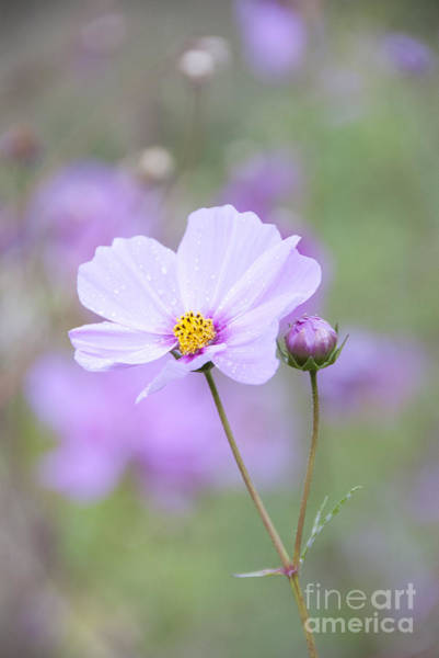 Botanic Photograph - Raindrops On Cosmos by Juli Scalzi