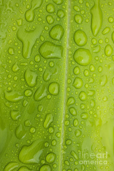 Photograph - Raindrops On Ginger Leaf by Charmian Vistaunet
