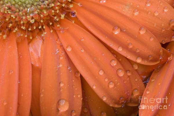 Photograph - Raindrops On Orange Daisy Petals by Jill Lang