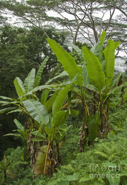 Photograph - Rainforest In Timor-leste by Dan Suzio