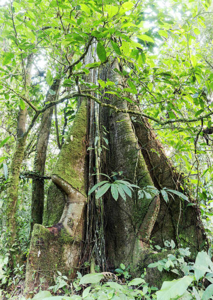 Ecuador Photograph - Rainforest Tree With Roots by Dr Morley Read