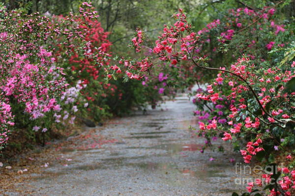 Photograph - Rainy Azalea Path by Carol Groenen