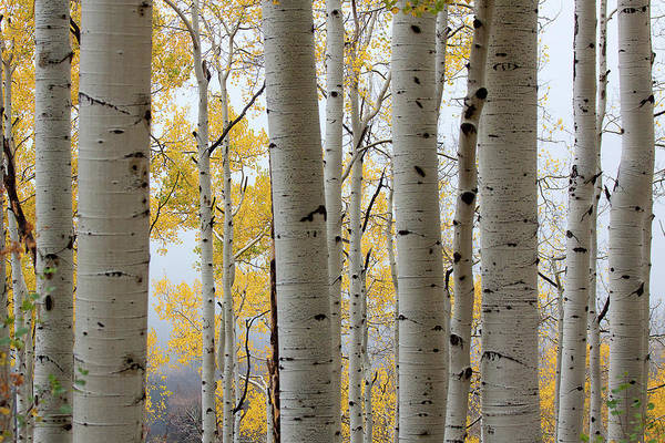 Rainy Day Aspen  Art Print