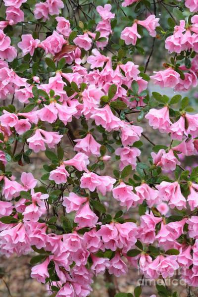 Photograph - Rainy Day Azaleas by Carol Groenen