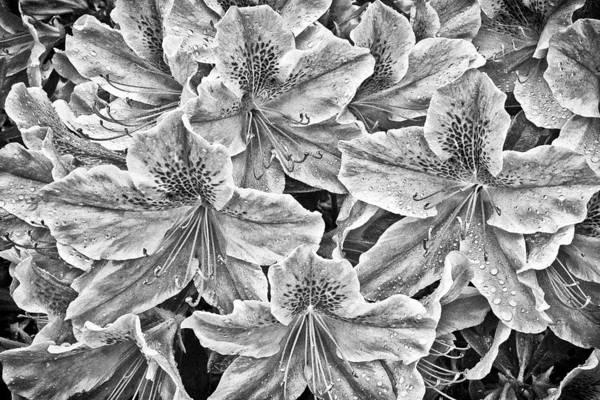 Photograph - Rainy Day Azaleia by Patrick M Lynch