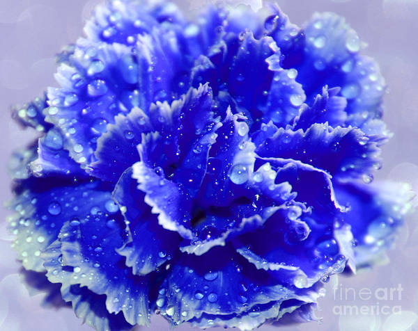 Carnation Photograph - Rainy Day Blues by Krissy Katsimbras