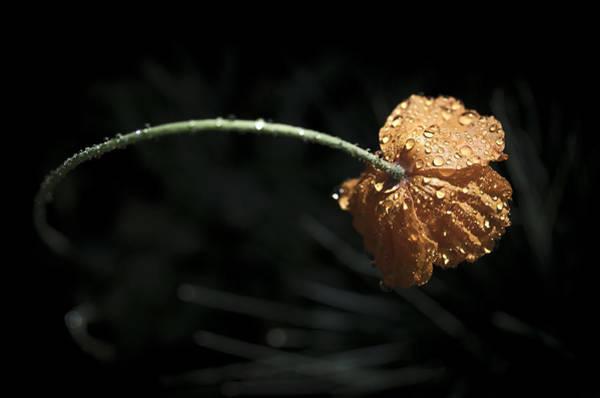 Photograph - Rainy Day Poppy by Priya Ghose