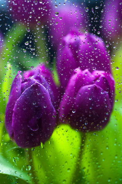 Queens Birthday Photograph - Rainy Tulips by Jenny Rainbow