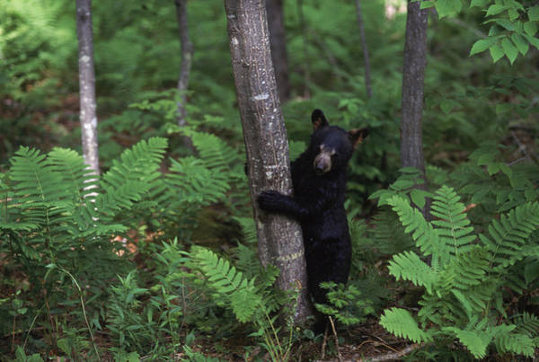 Wall Art - Photograph - Raising Black Bears In New Hampshire by Robert Caputo
