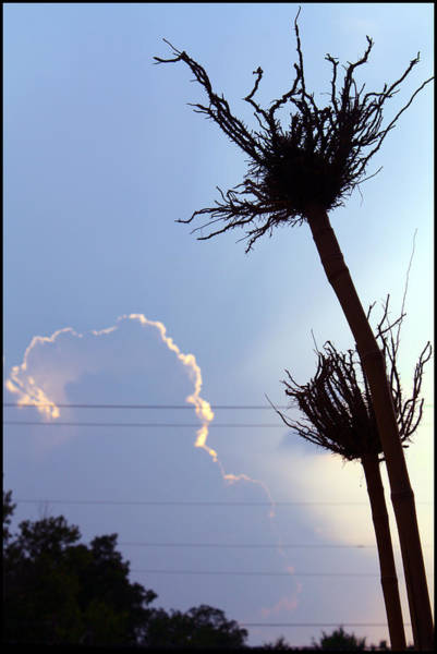 Photograph - Raising Roots by Ismael Cavazos