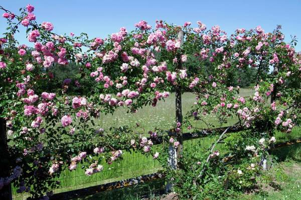 Rose In Bloom Photograph - Rambler Rose (francois Juranville) by Brian Gadsby/science Photo Library
