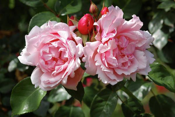 Hybrid Rose Photograph - Rambler Roses (rosa 'albertine') by Neil Joy/science Photo Library