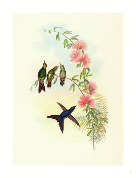 Wall Art - Drawing - Ramphomicron Microrhyncha Small Billed Thornbill by John Gould (1804-1881) And Henry Constantine Richter (1821?1902), English