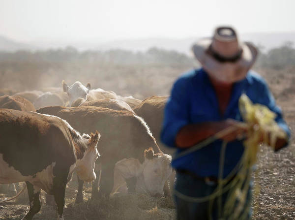 Working Photograph - Rancher Working And Feeding Cattle by Cultura Rm Exclusive/philip Lee Harvey