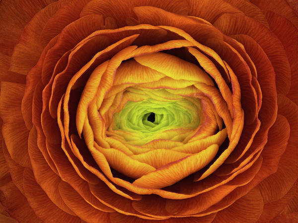 Wall Art - Photograph - Ranunculus Asiaticus by Victor Mozqueda