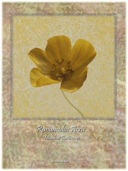 Digital Art - Ranunculus Buttercup Wild Flower Poster 4 by Barbara St Jean