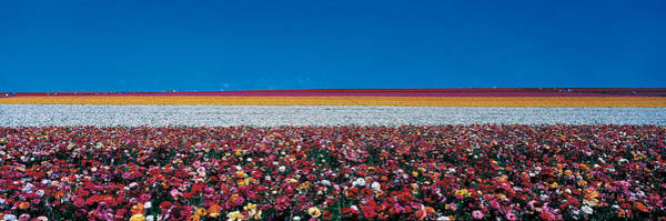 Tubers Photograph - Ranunculus Flowers Carlsbad Ranch by Panoramic Images