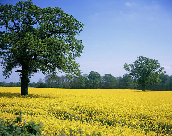 Canola Wall Art - Photograph - Rape Field by Andy Williams/science Photo Library
