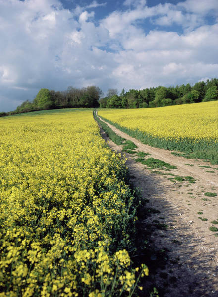 Wall Art - Photograph - Rape Field by Paul Harcourt Davies/science Photo Library