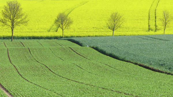 Row Crops Photograph - Rapeseed Field by M.gréard