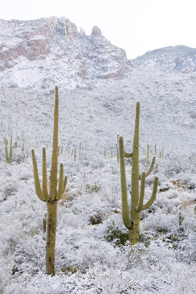Wall Art - Photograph - Rare Desert Snow On Saguaro Cactus by Craig K. Lorenz